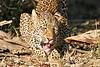 Leopard_Eating_MalaMala_2019_South_Africa_0013