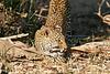 Leopard_Eating_MalaMala_2019_South_Africa_0002