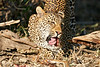 Leopard_Eating_MalaMala_2019_South_Africa_0006