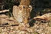 Leopard_Eating_MalaMala_2019_South_Africa_0009