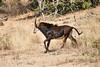 Sable_Antelope_MalaMala_2019_South_Africa_0016