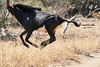 Sable_Antelope_MalaMala_2019_South_Africa_0010