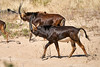 Sable_Antelope_MalaMala_2019_South_Africa_0019