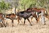 Sable_Antelope_MalaMala_2019_South_Africa_0005