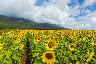 20170414_Sunflowers-11