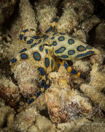Blue-ringed Octopus (Hapalochlaena lunulata)