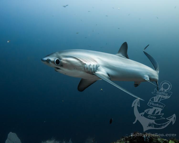 Pelagic Thresher Shark (Alopias Pelagicus)