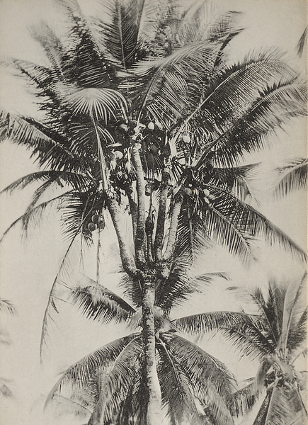 Branched coconut tree, Malaya