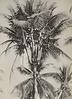Branched coconut tree, Malaya