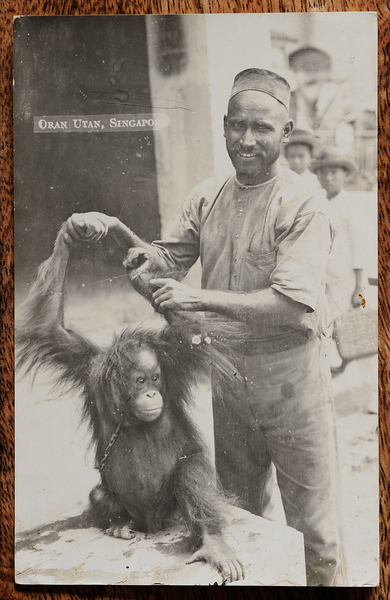 Postcard showing captive young orang utan in chains, Singapore. Silver bromide print.