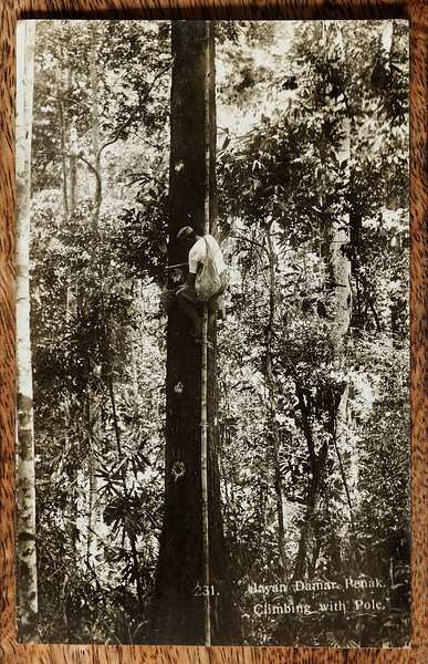 Tree climbing using pole, tapping damar penak from a dipterocarp in tropical rainforest
