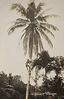 Cocoanut tree climbing, Malaya