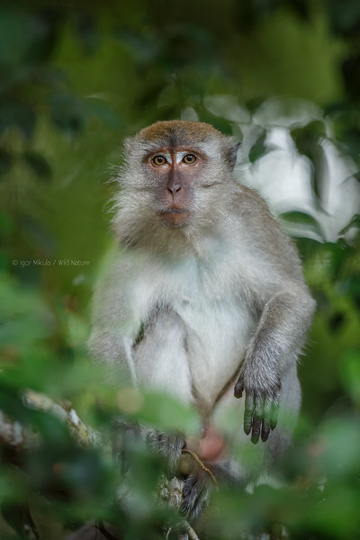 The crab-eating macaque (Macaca fascicularis)