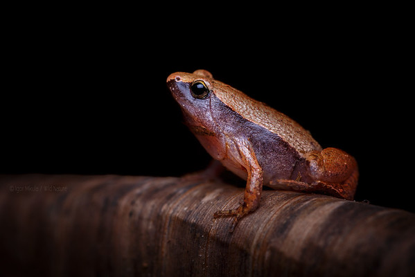 Dark-sided Chorus Frog -( Microhyla heymonsi )