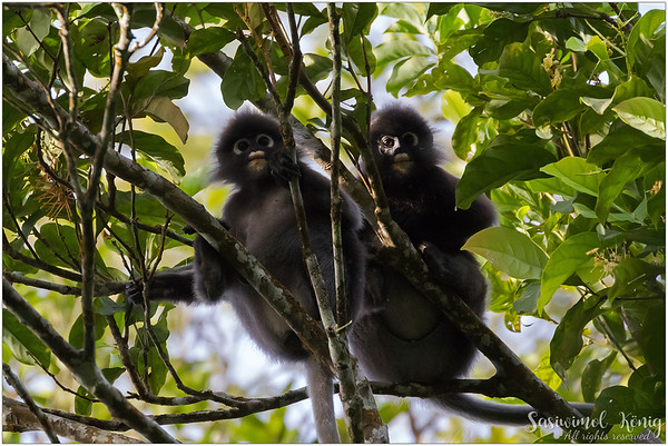 Dusky leaf monkey (Spectacled Langur) wearing spectacles