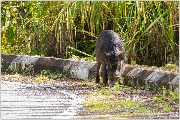 Babi Hutan, Wild boar.. Don't I deserve a warm welcome from this host? LOL