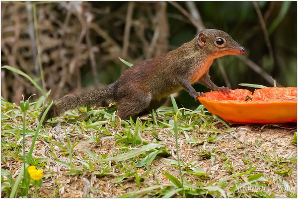Common tree shrew, love that cute long nose