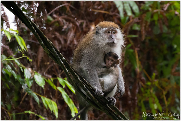 Long-tailed Macaque with a hungry baby