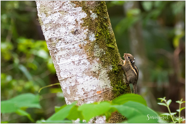 Himalayan Striped Squirrel climbed up quickly