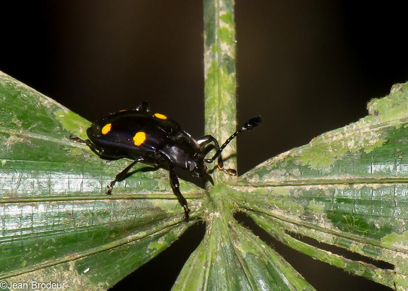 Eumorphus marginatus, Handsome Fungus Beetle, Lycoperdininae, Endomychidae<br /> 2451, Gunung Mulu National Park, Sarawak, East Malaysia, April 18, 2016