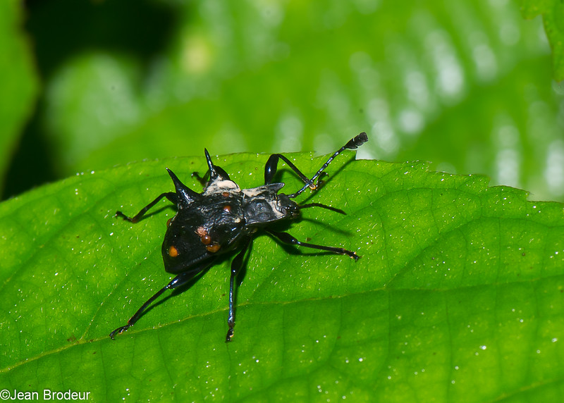 Cacodaemon arrowi,  Handsome Fungus Beetle, Endomychidae<br /> 2687, Gunung Mulu National Park, Sarawak, East Malaysia, April 19, 2016
