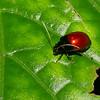 Galerucinae sp.  Chrysomelidae , Malaysian leaf beetle<br /> 3052, Gunung Mulu National Park, Sarawak, East Malaysia, April 20, 2016