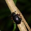 Eucyrtus cf. pretiosus, Coelometopinae, Tenebrionidae,  Darkling beetle<br /> 1820, Bako National Park, Sarawak, East Malaysia, April 14, 2016
