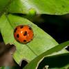 Epilachna  sp. Epilachninae, Coccinellidae<br /> 2526, Gunung Mulu National Park, Sarawak, East Malaysia, April 18, 2016