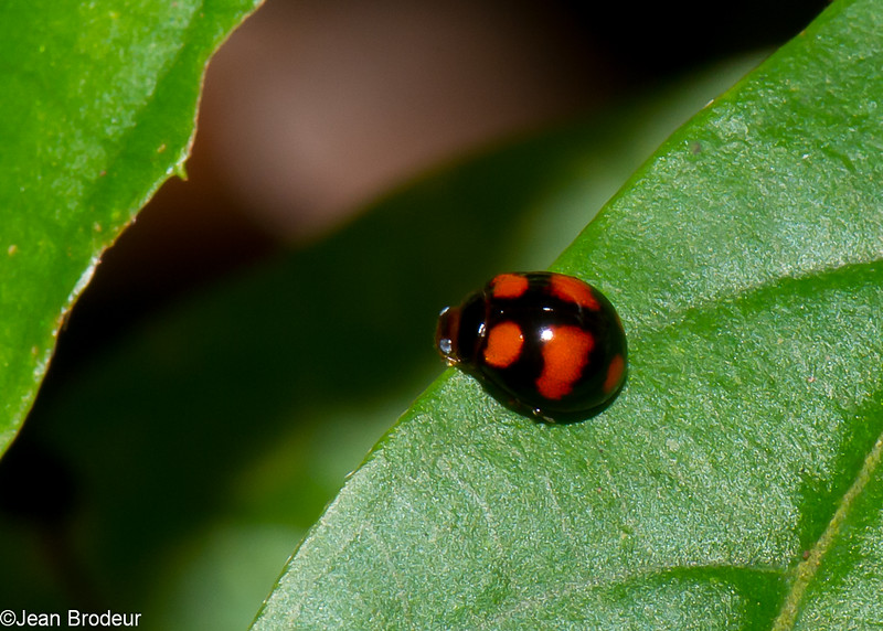 Coccinellinae sp. Coccinellidae<br /> 2186, Kubah National Park, Sarawak, East Malaysia, April 16, 2016