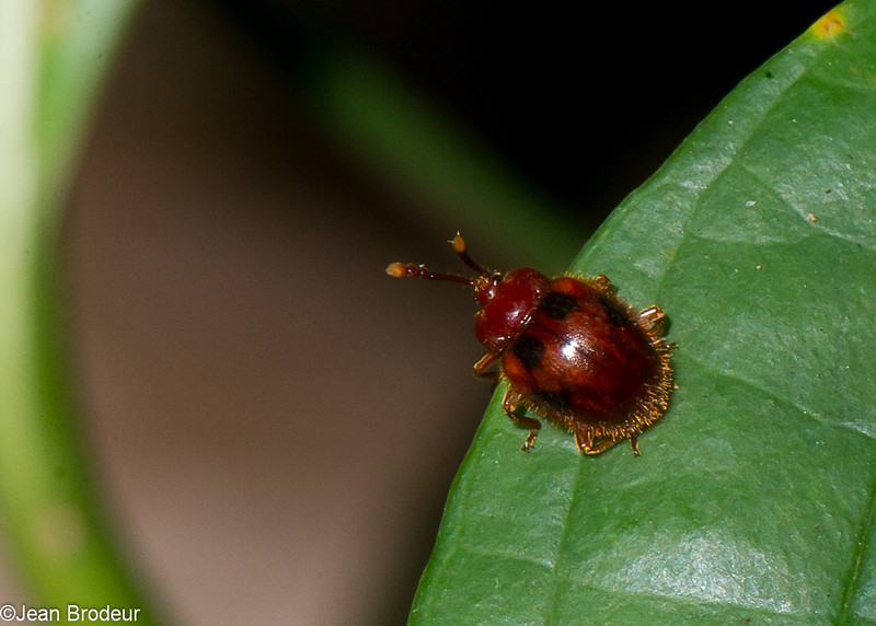 Stenotarsus pardalis, Ladybird Mimicking Beetle, Stenotarsinae, Endomychidae<br /> 3393, Miri, Sarawak, East Malaysia, April 22, 2016