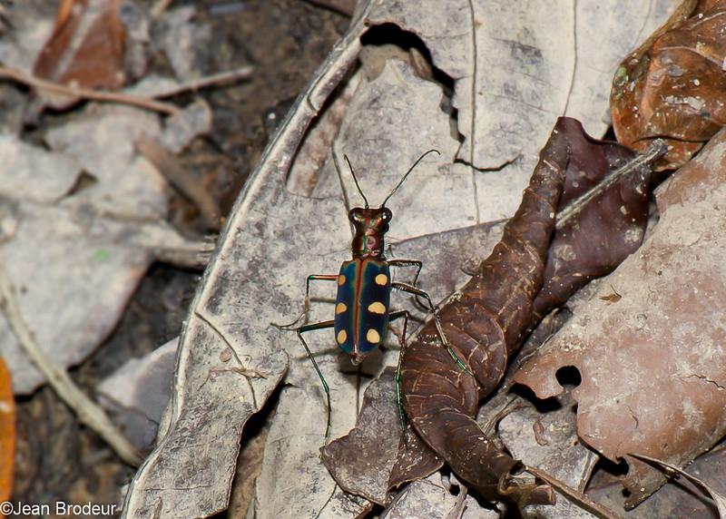 Cicindela (Cosmodela) aurulenta , Spotted tiger beetle, Cicindelinae<br /> 2811, Gunung Mulu National Park, Sarawak, East Malaysia, April 20, 2016
