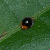 Scymnus sp. Scymninae, Coccinellidae<br /> 1291, Fraser Hill, Pahang, West Malaysia, April 9, 2016