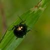 Eumolpinae sp. Chrysomelidae , Malaysian leaf beetle<br /> 2033, Kubah National Park, Sarawak, East Malaysia, April 16, 2016