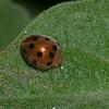 Henosepilachna pusillanima, Epilachnini, Coccinellidae<br /> 1459, Fraser Hill, Pahang, West Malaysia, April 10, 2016