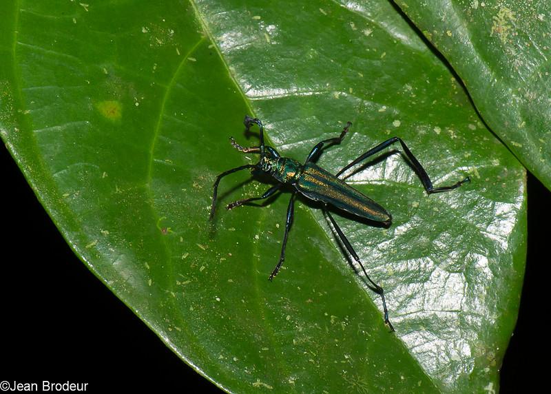 Callichromatini sp. Cerambycinae, Cerambycidae<br /> 2805, Gunung Mulu National Park, Sarawak, East Malaysia, April 20, 2016