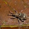 Curculionidae sp. <br /> 2155, Kubah National Park, Sarawak, East Malaysia, April 16, 2016