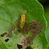Beetle larvae sp.<br /> 1706, Bako National Park, Sarawak, East Malaysia, April 13, 2016