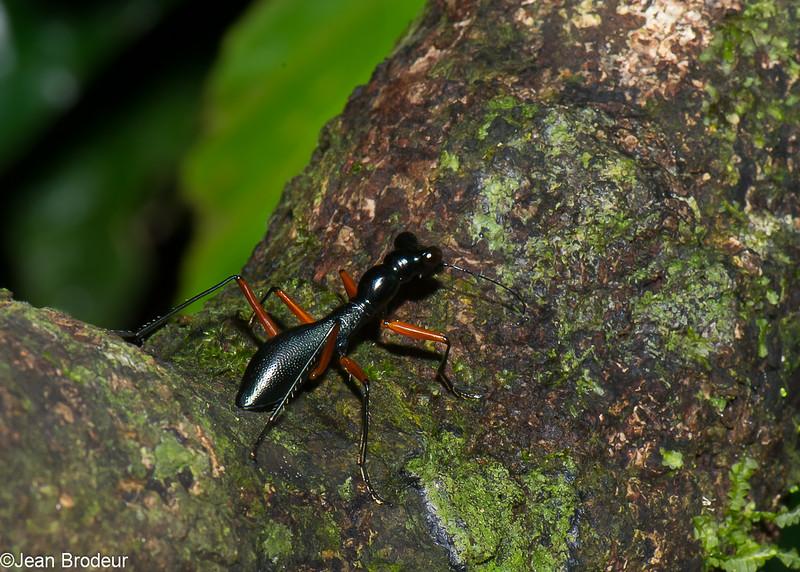 Tricondyla punctata, Collyrinae,  Cicindelidae<br /> 2507, Gunung Mulu National Park, Sarawak, East Malaysia, April 18, 2016