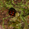 Coccinellinae sp. Coccinellidae<br /> 1842, Bako National Park, Sarawak, East Malaysia, April 14, 2016