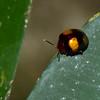 Coccinellidae sp. <br /> 3072, Gunung Mulu National Park, Sarawak, East Malaysia, April 20, 2016