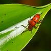 Crioceris sp. Criocerinae, Chrysomelidae<br /> 2894, Gunung Mulu National Park, Sarawak, East Malaysia, April 20, 2016