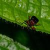 Attelabidae sp. Leaf-rolling weevil<br /> 2041, Kubah National Park, Sarawak, East Malaysia, April 16, 2016