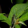 Glenea sp. Saperdini, Lamiinae, Cerambycidae<br /> 0854, Cameron Highlands, Pahang, West Malaysia, April 8, 2016