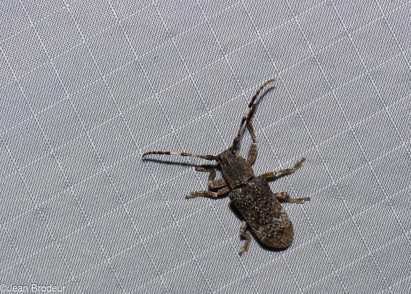 Cyardium sp. Pterolpiini , Lamiinae, Cerambycidae<br /> 1117, Cameron Highlands, Pahang, West Malaysia, April 8, 2016