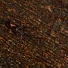Euthyastus binotatus Pascoe, Lamiinae, Cerambycidae<br /> 3092, Gunung Mulu National Park, Sarawak, East Malaysia, April 21, 2016