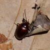 Erotylidae sp. Fungus beetle<br /> 2208, Kubah National Park, Sarawak, East Malaysia, April 17, 2016