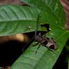 Parepicedia fimbriata fimbriata female, Lamiinae, Cerambycidae<br /> 2916, Gunung Mulu National Park, Sarawak, East Malaysia, April 20, 2016