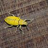 Hypomeces squamosus,  Gold-dust Weevil, Piazomiina, Entiminae, Curculionidae<br /> 3309, Miri, Sarawak, East Malaysia, April 22, 2016