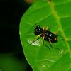 Therates sp. Cicindelidae, Malaysian tiger beetle<br /> 2673, Gunung Mulu National Park, Sarawak, East Malaysia, April 19, 2016