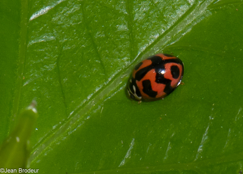 Menochilus sexmaculatus, Coccinellidae, Six-spotted zigzag ladybird<br /> 0811, Cameron Highlands, Pahang, West Malaysia, April 7, 2016